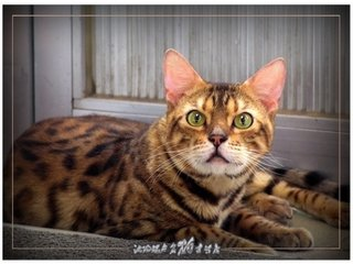 纯种健康的孟加拉豹猫中山猫舍哪里有卖豹猫
