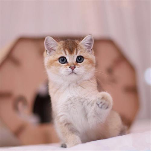 金渐层猫什么价,高品质金渐层佛山哪里有卖的呀
