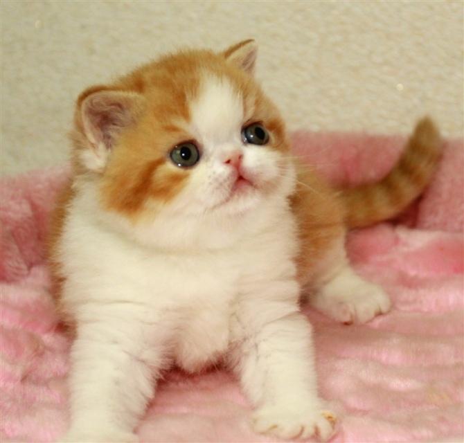 纯种加菲猫 幼猫出售惠州哪里有卖加菲猫7