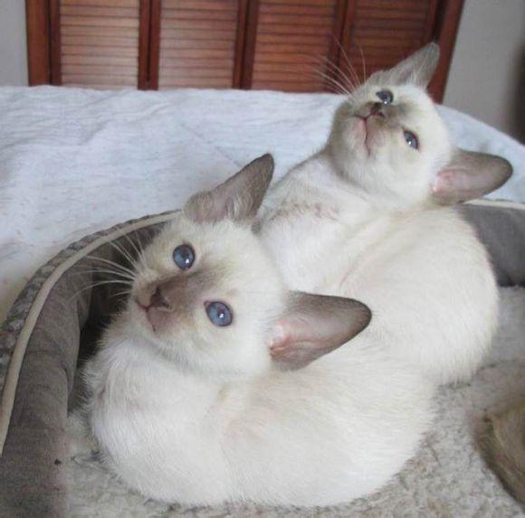 送猫上门 猫到付款 当日达广州哪里有卖暹罗猫2