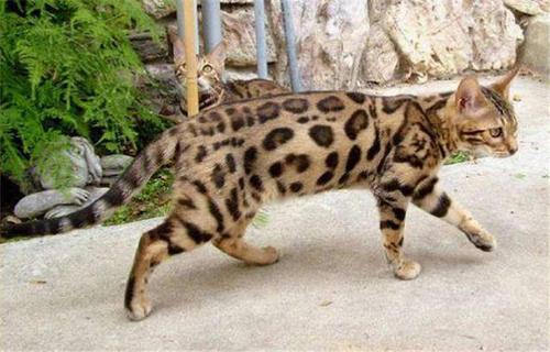 豹猫好养吗东莞哪里有卖豹猫7