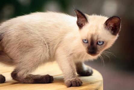 送猫上门 猫到付款 当日达广州哪里有卖暹罗猫5