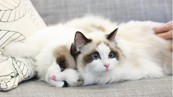 血统纯正包建康,去哪买买猫好呀,珠海哪里有卖布偶猫
