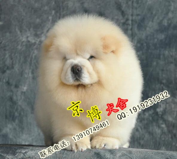赛级松狮 纯种松狮幼犬出售 签协议 保证健康4