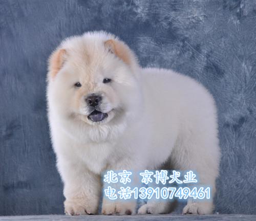 赛级松狮 纯种松狮幼犬出售 签协议 保证健康2