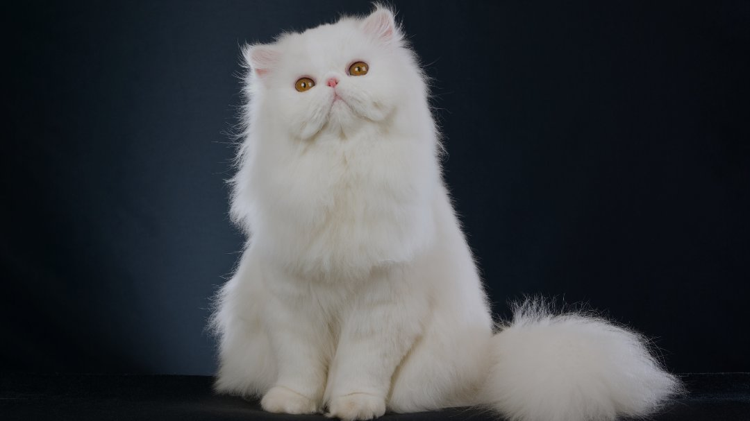 官网推荐已认证 精品波斯猫出售 可签订合同!▊CAF认证▊