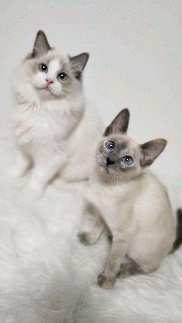官网推荐已认证 精品暹罗猫出售 可签订合同!▊CAF认证▊