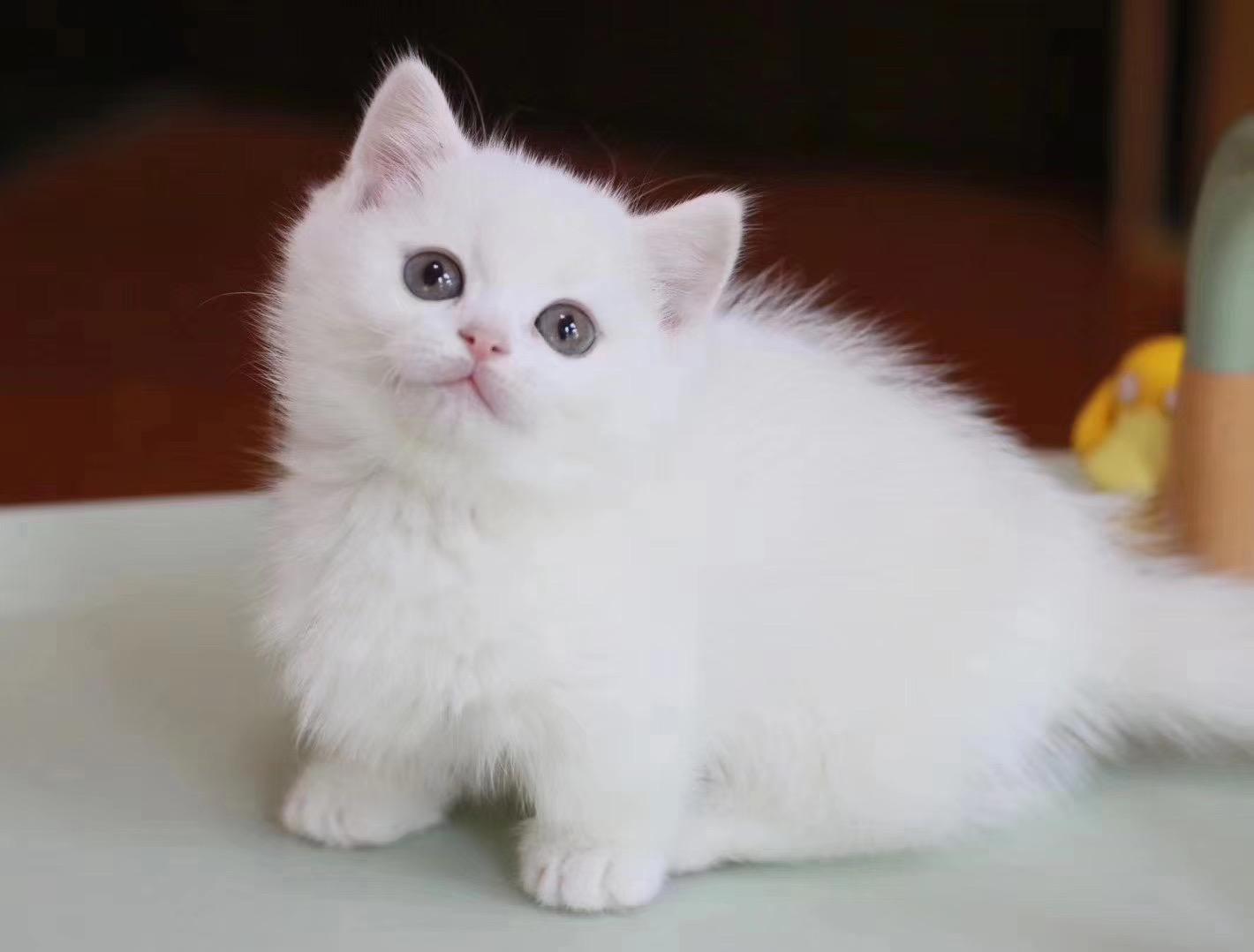 官网推荐已认证 曼基康猫出售 可签订合同!▊CAF认证▊