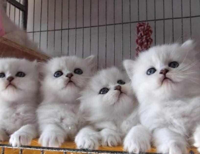 官网推荐已认证 金吉拉猫出售 可签订合同!▊CAF认证▊