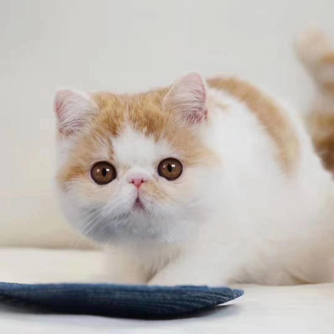 官网推荐已认证 精品加菲猫出售 可签订合同!▊CAF认证▊