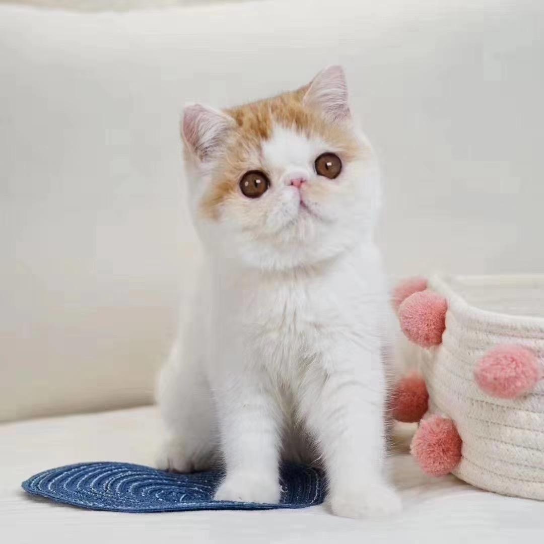 官网推荐已认证 精品加菲猫出售 可签订合同!▊CAF认证▊2