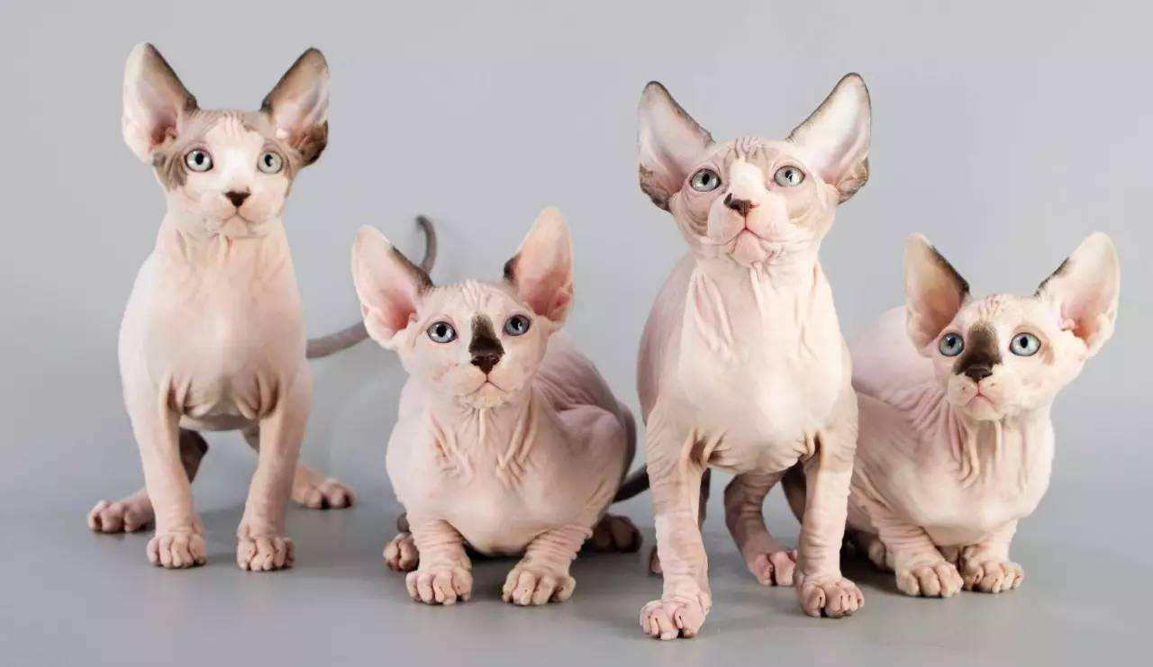 官网推荐已认证 精品无毛猫出售 可签订合同!▊CAF认证▊