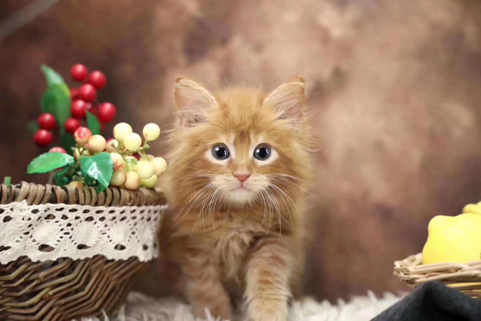 ▊官网推荐已认证▊精品缅因猫出售▊CAF认证▊质量第一▊