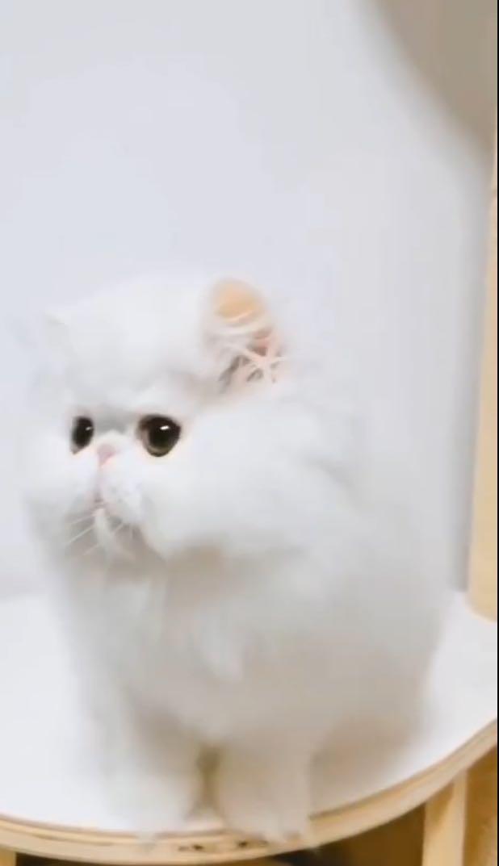 ▊官网推荐已认证▊精品波斯猫出售▊CAF认证▊质量第一▊