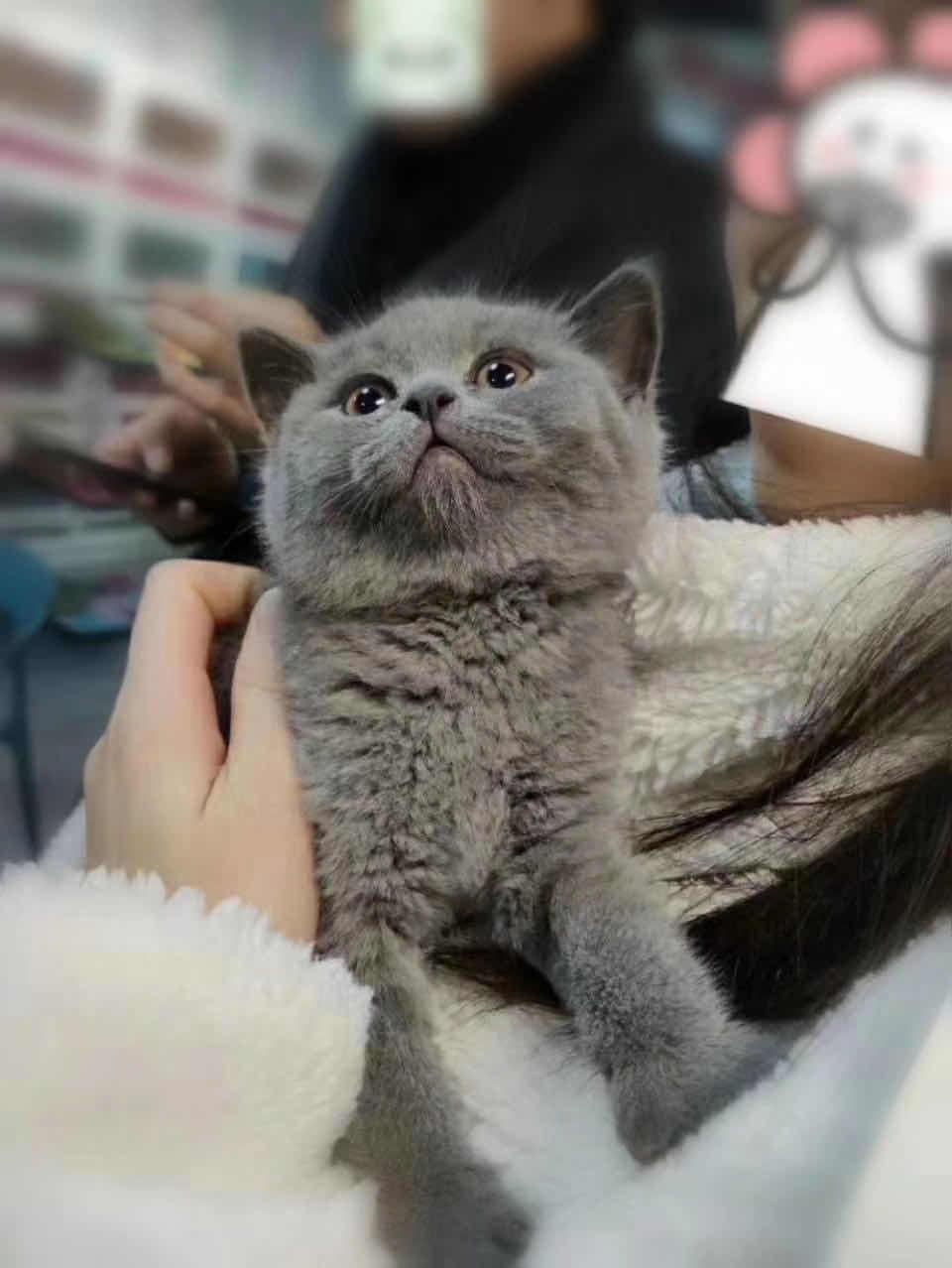 ▊官网推荐已认证▊精品蓝猫出售▊CAF认证▊质量第一▊