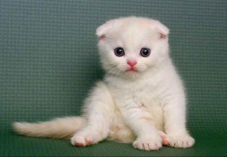CFA认证猫舍就是康达猫舍值得信赖东莞哪里有卖折耳猫7