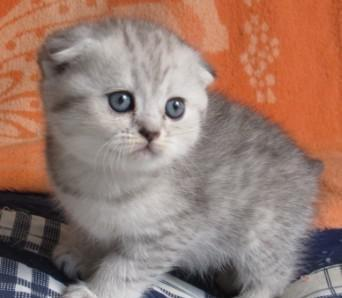 CFA认证猫舍就是康达猫舍值得信赖东莞哪里有卖折耳猫6