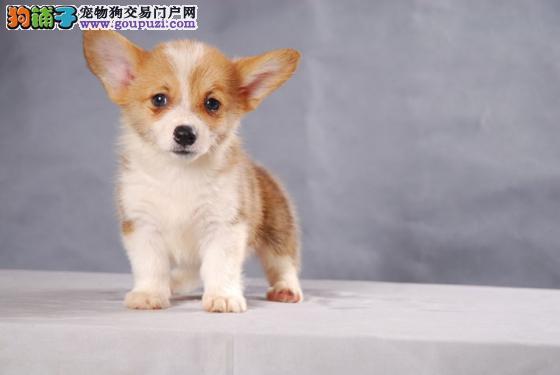 纯种柯基幼犬出售 基地宠物现货挑选 货真价实4
