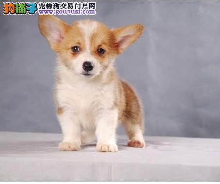 纯种柯基幼犬出售 基地宠物现货挑选 货真价实2