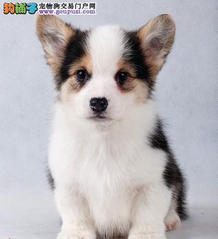 纯种柯基幼犬出售 基地宠物现货挑选 货真价实3