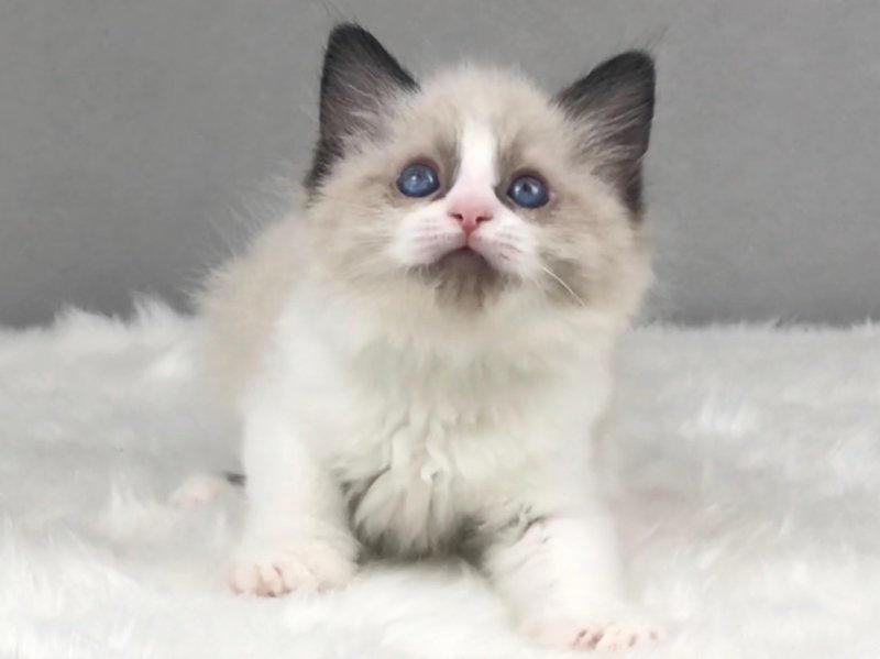 长沙哪里有卖布偶猫 长沙布偶猫一只多少钱