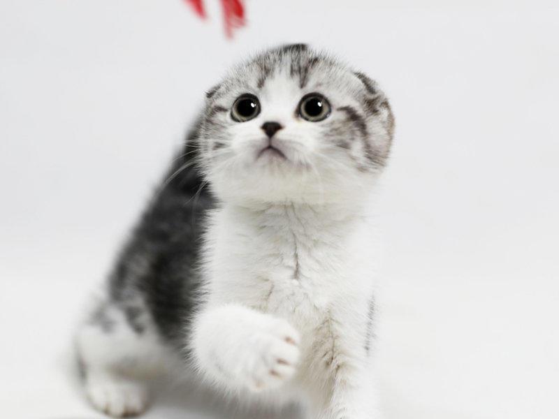 长沙哪里有卖折耳猫 长沙折耳猫一只多少钱
