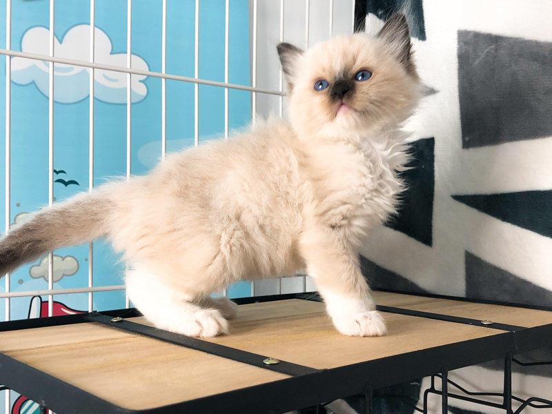 重庆哪里有卖布偶猫 重庆纯种布偶猫一只多少钱