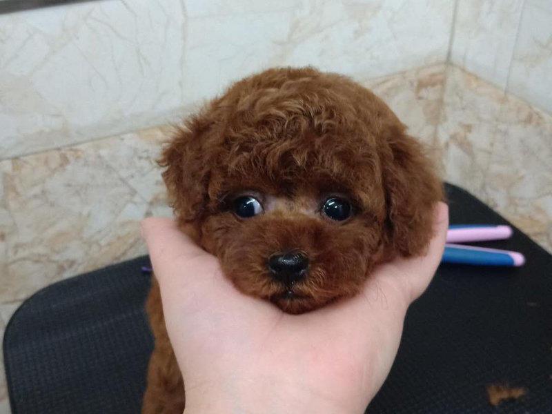 郑州哪里卖泰迪 泰迪怎么卖 泰迪照片 泰迪多少钱一只3