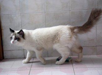 广东东莞哪里有卖布偶猫 温顺粘人 纯种健康