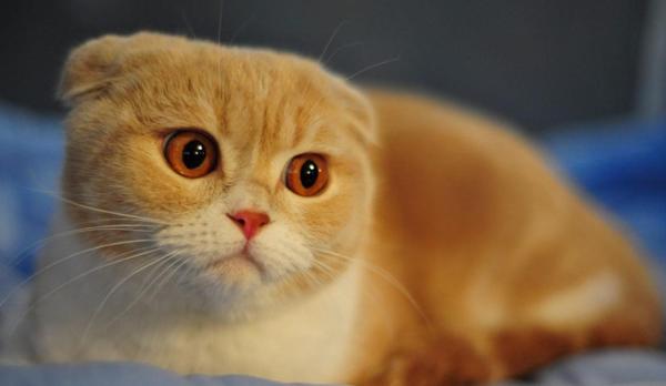 佛山哪里有卖折耳猫咪佛山哪里买宠物猫比较好的