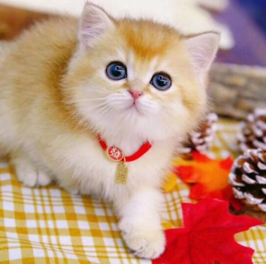 金渐层 纯种金渐层多少钱 京津冀地区可上门看猫