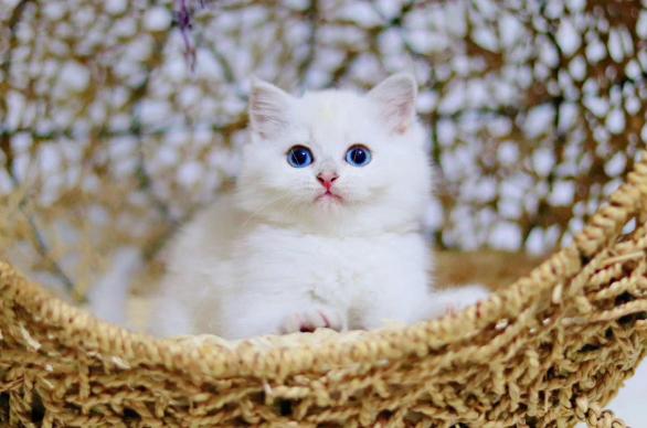 银渐层 纯种英短银渐层多少钱 英短银渐层小猫