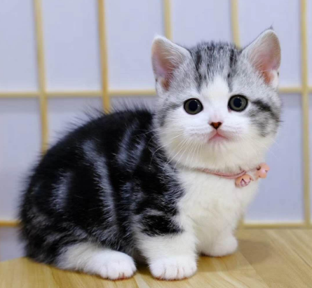 美短 美国短毛猫 美短标斑 美短加白 纯种美国短毛猫