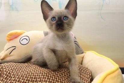 暹罗猫 纯种暹罗猫 暹罗猫幼猫 暹罗猫小猫 网红暹罗猫