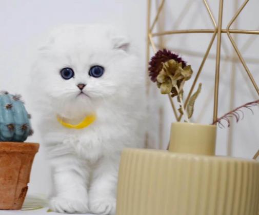 金吉拉猫 纯种金吉拉猫 金吉拉小猫 金吉拉幼猫 网红金吉拉