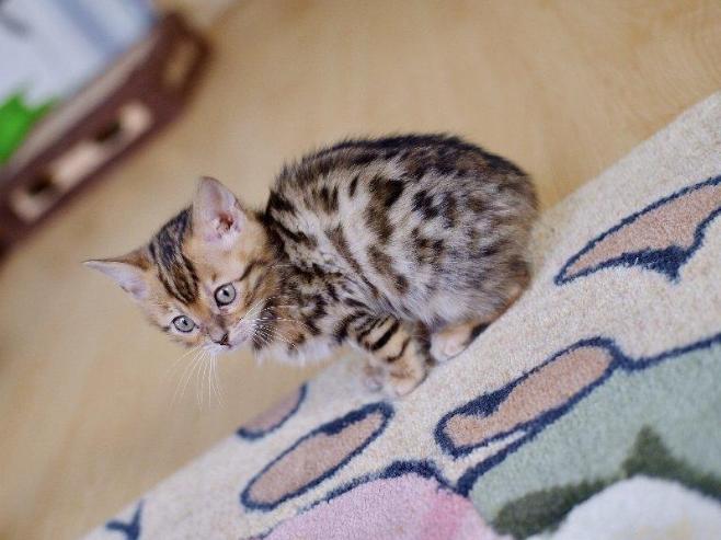 豹猫 纯种豹猫多少钱 豹猫小猫出售 豹猫幼猫出售4