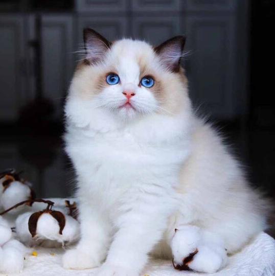 布偶猫 纯种布偶猫 北京布偶猫多少一只 网红布偶猫