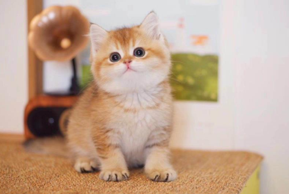 金渐层 纯种金渐层多少钱 网红金渐层小猫出售