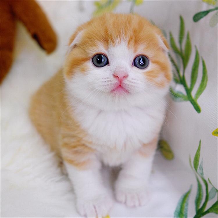 折耳猫 纯种折耳猫多少钱 网红折耳猫小猫出售