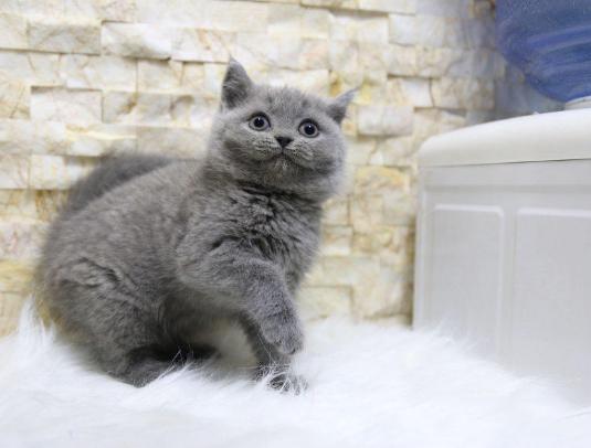 蓝猫 蓝猫价格 蓝猫多少钱一只 网红英短蓝猫 蓝猫小猫