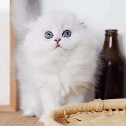 金吉拉猫 金吉拉猫多少钱 网红金吉拉猫 金吉拉小猫