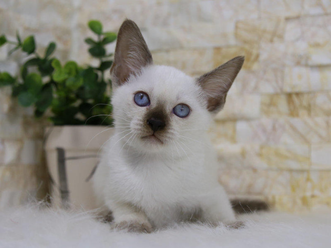 暹罗猫 纯种暹罗猫幼猫出售 网红暹罗猫出售