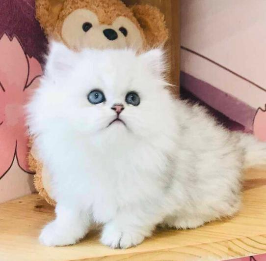 波斯猫 纯种波斯猫多少钱 网红波斯猫小猫出售