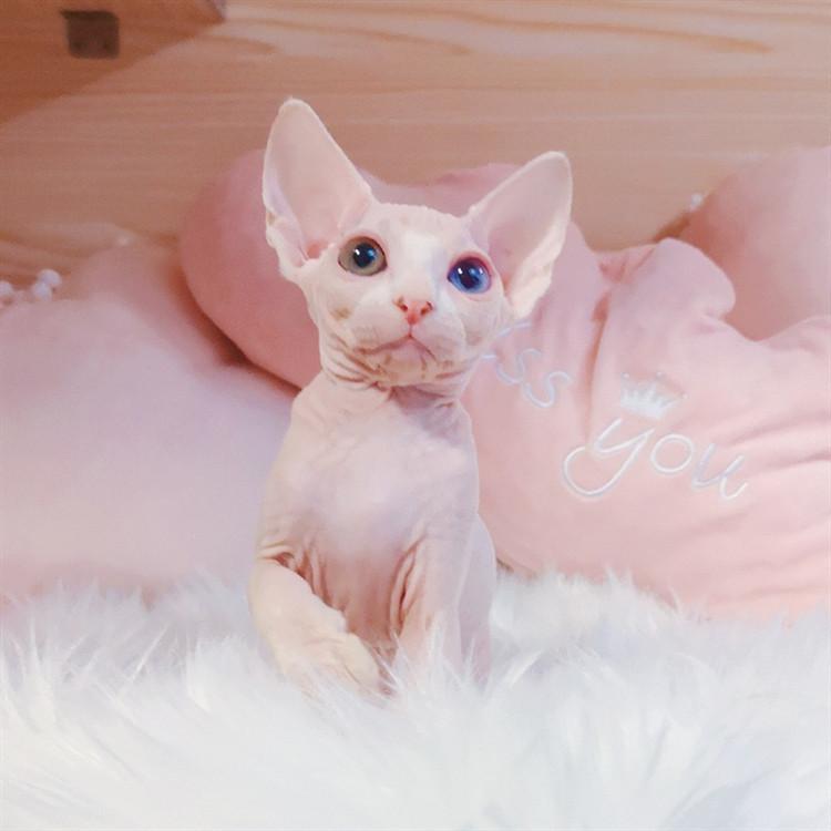 无毛猫 纯种无毛猫多少钱 网红无毛猫 无毛猫小猫出售