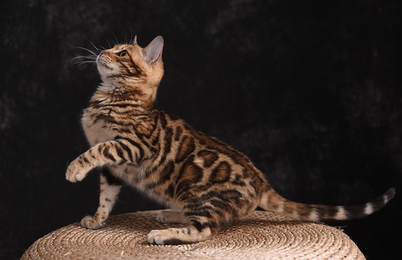 豹猫 纯种孟加拉豹猫多少钱 网红孟加拉豹猫小猫出售3