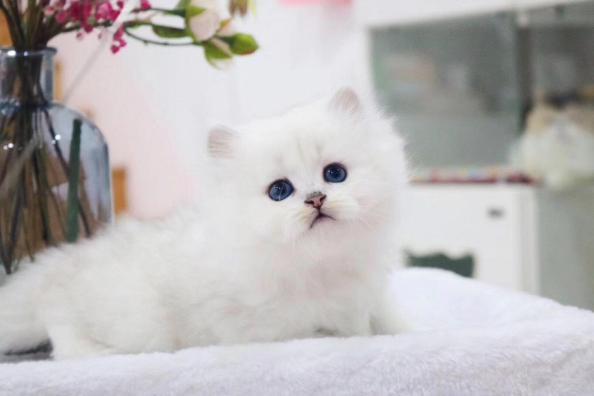 金吉拉猫 纯种金吉拉多少钱 网红金吉拉小猫多少钱