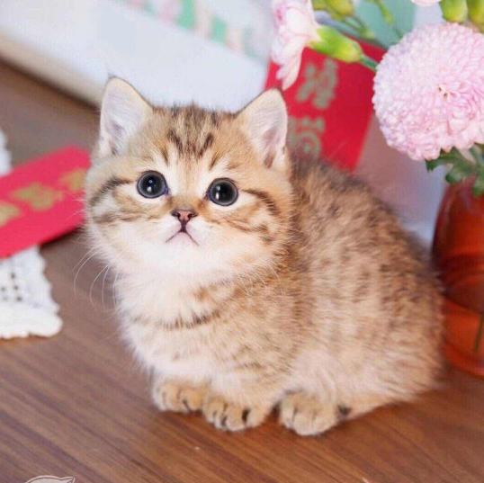 曼基康猫 纯种曼基康矮脚猫多少钱 网红曼基康矮脚小猫出售