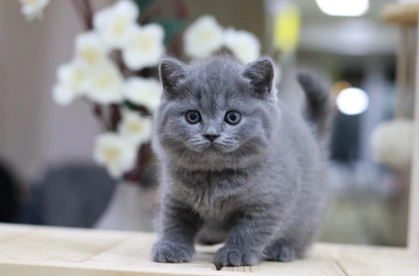 蓝猫 纯种英短蓝猫多少钱 网红蓝猫小猫出售