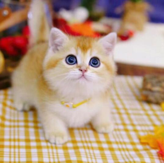 金渐层宠物猫咪幼崽纯种英短 基地直销 北京实地挑选