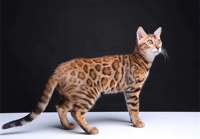 豹猫 纯种孟加拉豹猫多少钱 网红孟加拉豹猫小猫出售2